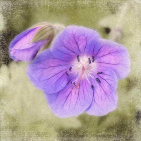 geranium-513-tbm